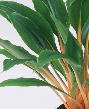 Begonia-venosa