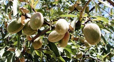 almendro-fruto