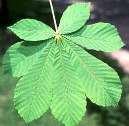 castano-aesculus-hippocastanum-hoja