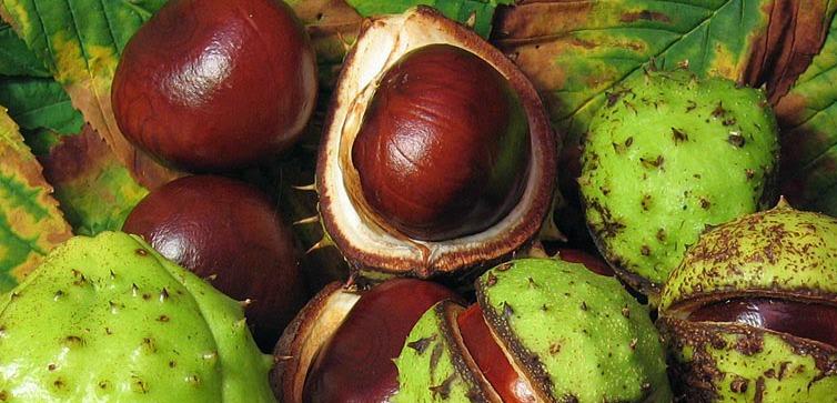 castano-de-indias-semilla