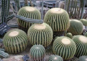 echinocactus-grusonii-2