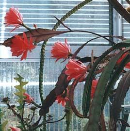 epiphyllum-hybrida