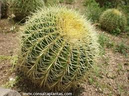 Cactus erizo – Echinocactus grusonii