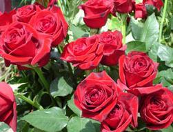 foto-rosas-rojas