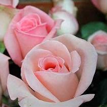 fotos-rosas-rosas