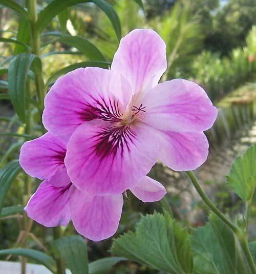 geranio-flor2