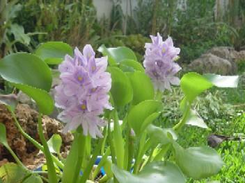 jacinto-agua