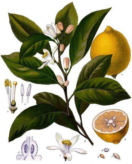 limon - limonero
