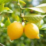 Limón – Limonero