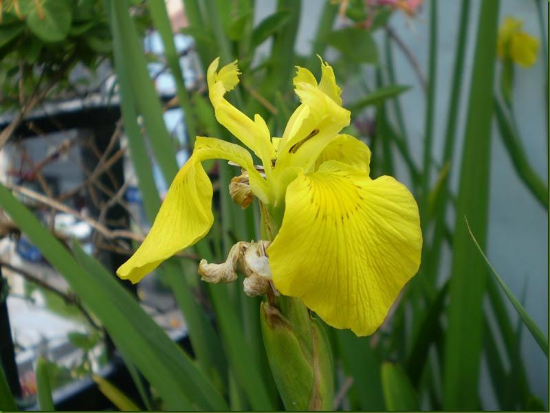 Iris pseudacorus o lirio amarillo