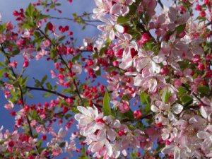 manzano-en-flor