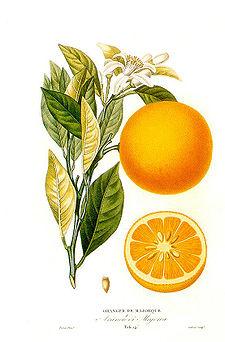 naranjo-dibujo