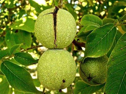 nogal-frutos-2