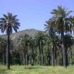Palmera de Chile