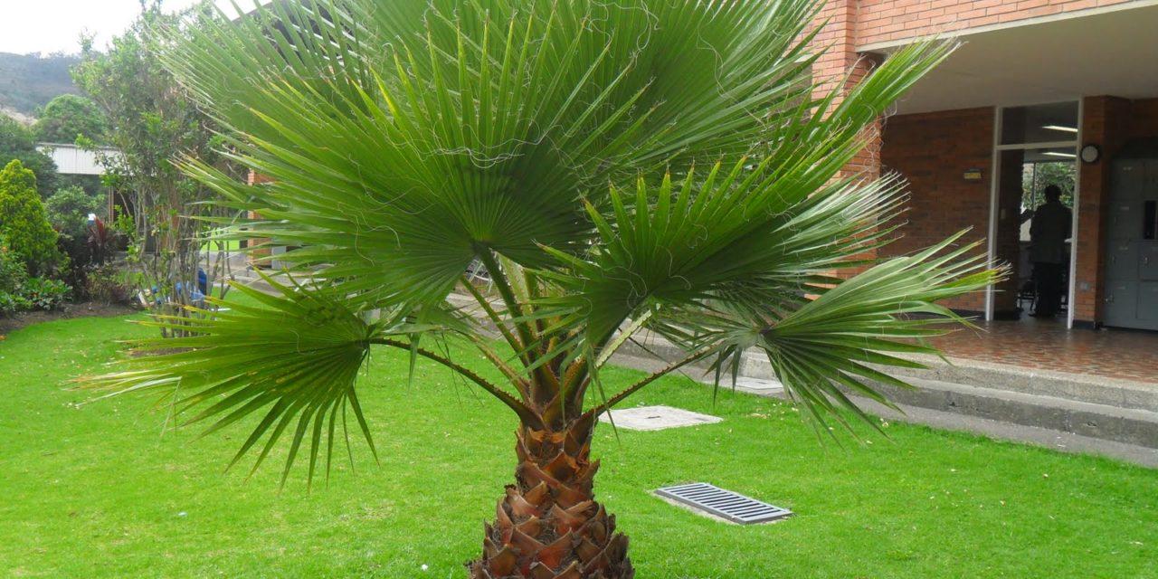 Palmera Washingtonia robusta
