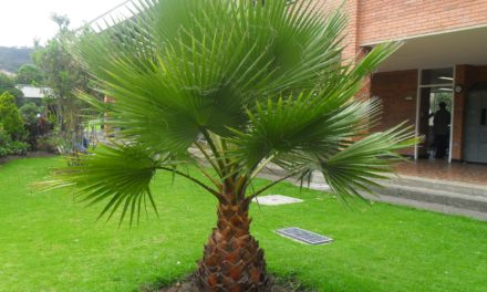 Palmera Washingtonia robusta