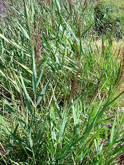 poa-acuatica-Phragmites_australis_habitus_15August2009_LagunadeCaracuel
