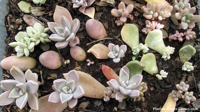 Reproducción por hojas