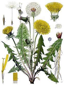 taraxacum_officinale_-_khlers_medizinal-pflanzen-135