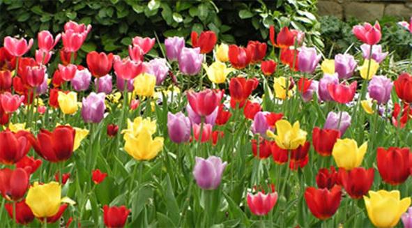 tulipan1