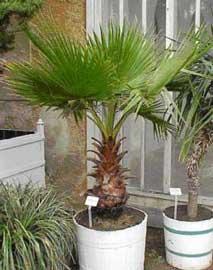washingtonia-robusta