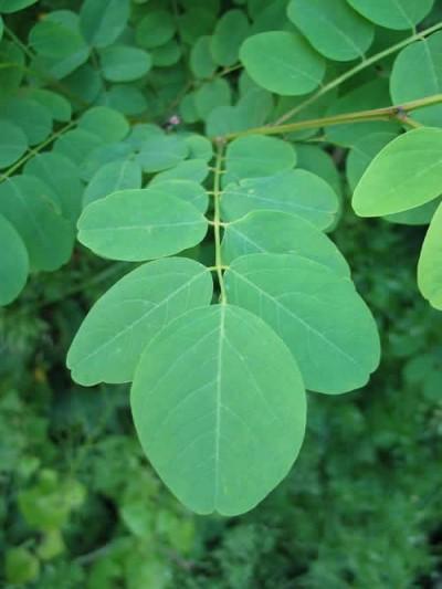 Acacia-Bola4-400x533