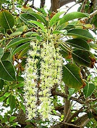 OMBU-phytolacca-dioica-hojas