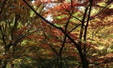 Acer Japónico