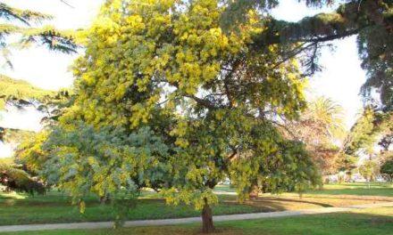 Aromo (Acacia)