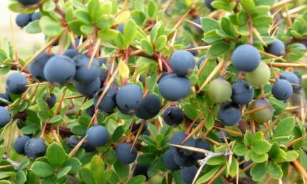 Calafate (Berberis microphylla)