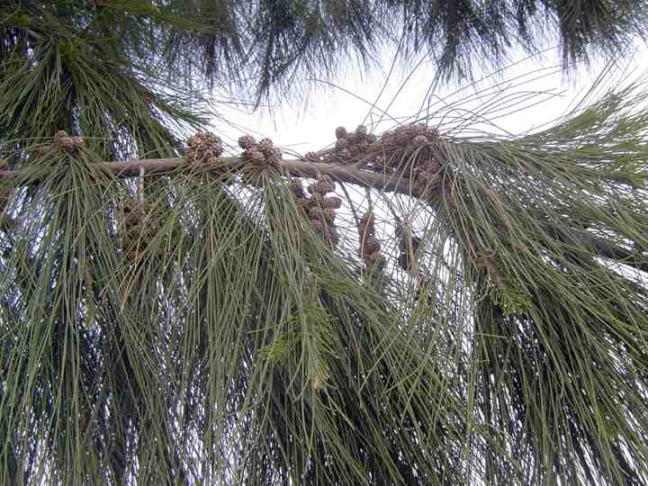 Pino Australiano (Casuarina equisetifolia )