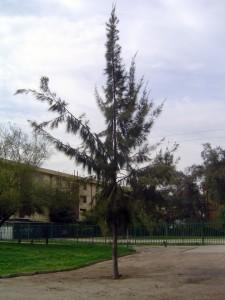 casuarinab-225x300