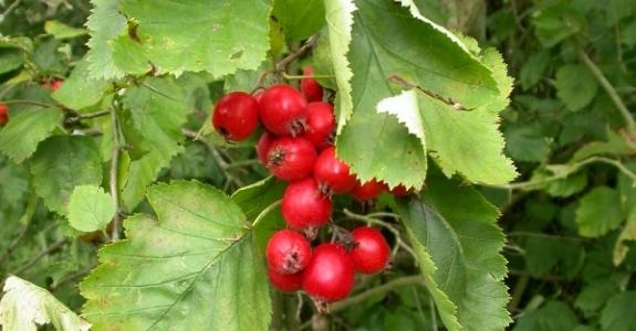 crataegus-crus-galli-fruto