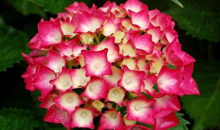 flores_de_hortensias