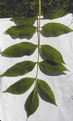 fresno-hojas