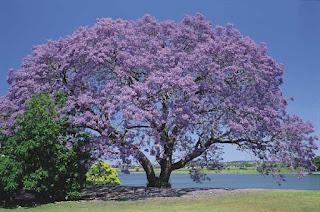 jacaranda mimisofolia palisandro