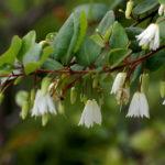 Patagua (Crinodendron patagua Mol.)