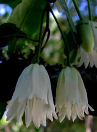 patagua-flor
