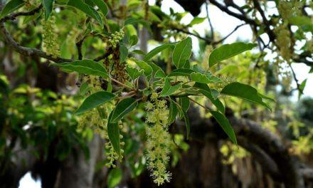 Ombú (Phytolacca dioica)