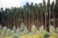 plantaciones-200x133-eucaliptus