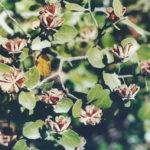 Quillay (Quillaja saponaria Molina)