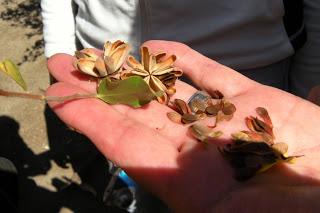 quillay-semilla